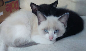 Kittens: 1 Blue Eyed Chocolate Ragdoll, 1 Tuxedo, 1 Dark Calico