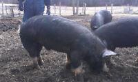 Purebred Berkshire Boar