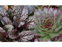 Shrubs, Rockery plants, Pink garden roses for sale