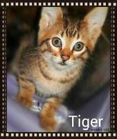 Bengal mix ( 2 males available)