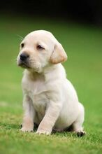 Golden Labrador Puppy Wanted Narre Warren North Casey Area Preview