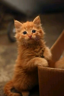 Wanted: Ginger kitten