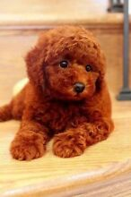 Looking for silver or red toy poodle Victoria Park Victoria Park Area Preview