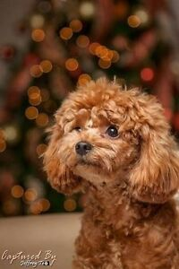 Look for pure bred toy poodle Corlette Port Stephens Area Preview