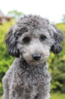 Silver toy poodle male Thornlie Gosnells Area Preview
