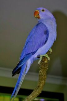 Want!! Purple or any colour female Indian ringneck!  Belmont Belmont Area Preview
