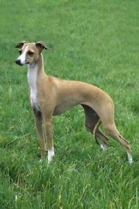 Italian Greyhound for adoption | Dogs & Puppies | Gumtree ...