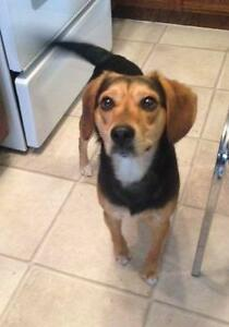 "Adult Male Dog - Beagle-Jack Russell Terrier: ""Stanley"""