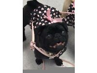 KC Pug Girl looking for her forever home