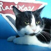 """Adult Male Cat - Domestic Short Hair: """"Casey"""""""