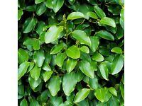 Griselinia Green Horizon Hedging Plants