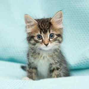 Roxy rescue kitten VET WORK INCLUDED Pinjarra Murray Area Preview