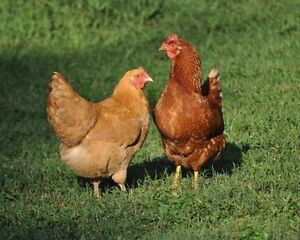 Laying Hens, 3-4 months old, Red Star / Red Sex-linked Chicken Gatineau Ottawa / Gatineau Area image 2
