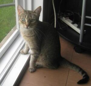 """Adult Female Cat - Domestic Short Hair-Tabby (Brown): """"Baby"""""""