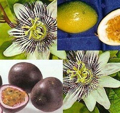 wunderschöne Königs-Granadilla - hat Maracujas - auch Passionsfrucht genannt