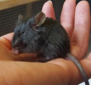 "Baby Female Small & Furry - Mouse: ""Nellie"""