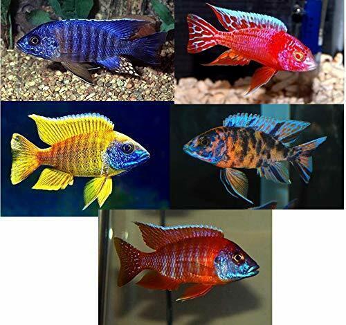 Live 5 pack Mixed Peacock Cichlids Aulonocara Sp. for fish tank aquarium