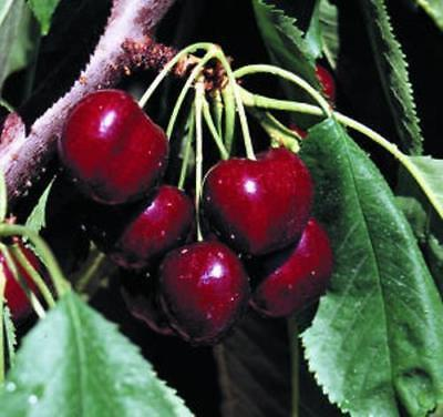 25 DWARF LAPIN CHERRY TREES SEEDS FLOWERING FRUIT TREES  LIVE PLANTS SALE
