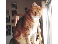 Much loved ginger tabby cat for sale