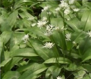 British Wild Flower  - Allium ursinum - Ramsons - Wild Garlic 100 Seed - Edible