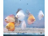 3 inch Discus tropical peaceful community fish