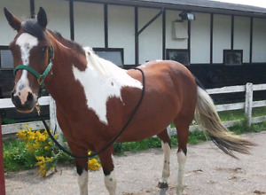 15.3hh paint mare for sale