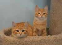 RESCUE KITTENS for Adoption - Spayed/Neutered/Vaccinated/Healthy