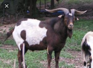 Wanted a buck goat