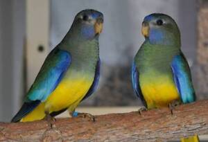 Birds and bird accessories for sale Rivervale Belmont Area Preview