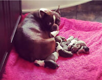 Boston terrier puppies ready end of August