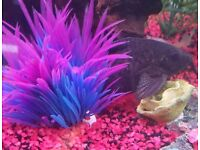 Two featherfin sysodontis catfish 1 female and 1 male 7-9 inch