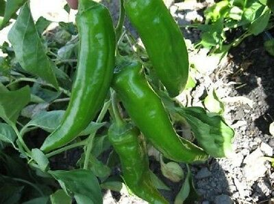 - 1,500 Anaheim Chili Pepper Seeds BULK SEEDS
