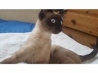 Burmeese Kitten, Blue Eyes, Silver/chocolate colour £590 ( offers are welcome)