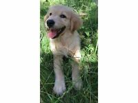 AMAZING Golden Retriever Puppy - 8.5 weeks