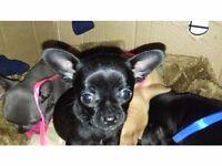 Beautiful Black Chihuahuas (rare)