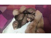Ferret Kits - Males + Females - Sandies + Polecats