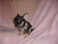 Gorgeous KC Reg Tricolour Chihuahua Boy Puppy