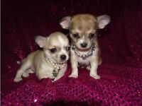 KC Registered Micro Tiny Smooth Coat Chihuahua Puppies