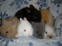 baby dwarf lion head rabbits, very tame and used to children, hutch, cage, accessories