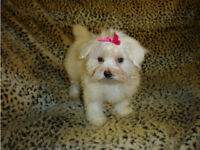 Gorgeous KC Registered Maltese Puppies