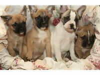 French Bulldogs 3/4