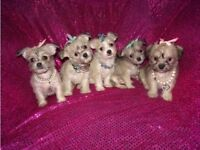 Exquisite Tiny Maltese X Chihuahua Malchi Puppies For Sale