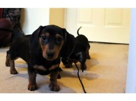 Daschund puppies (sausage dogs) for sale !