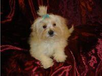 Gorgeous Fluffy White KC Registered Maltese Boy Puppy Ready Now