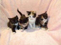Gorgeous Fluffy Tortoiseshell White Black Ginger Turkish Van Cross Kittens