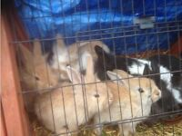Rabbits for sale both male and female ten pounds each