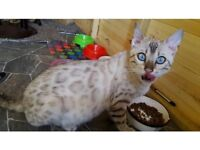 Bengal cat female for sale