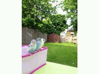 Baby budgie 5 months