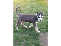 husky puppy 1 left