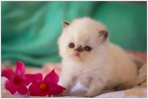 PERSIAN KITTEN-CHOCOLATE POINT BABY GIRL
